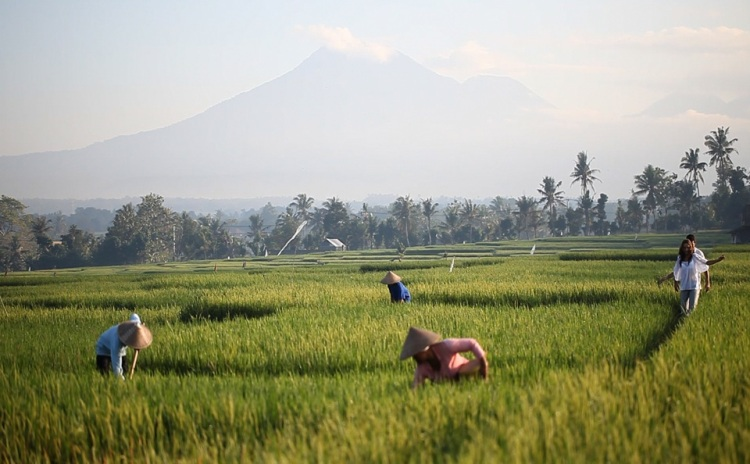 Paddy-field-and-Mount-Batukaru-in-the-horizon