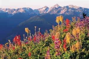H9b-Canada-British-Columbia-Kootenay-Rockies-Wildflowers-in-an-alpine-meadow-in-the-Kootenay-Rockies-Gluns-David-Tourism-BC