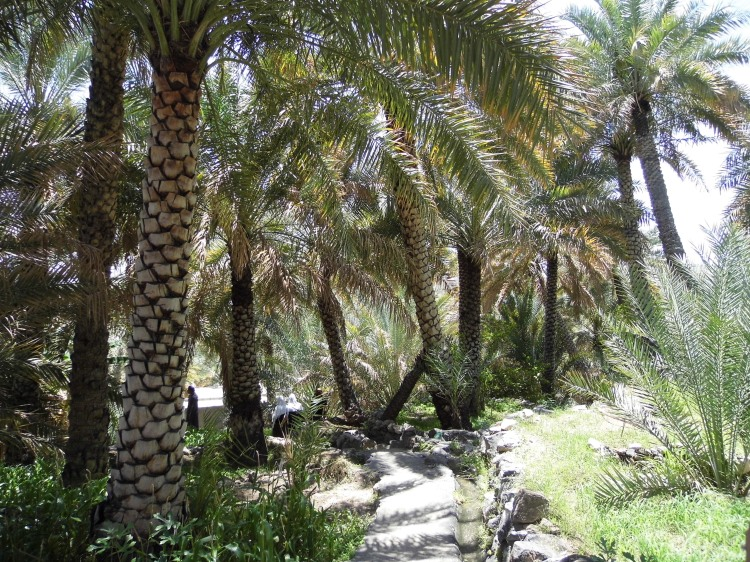 Date palms, Misfat oasis